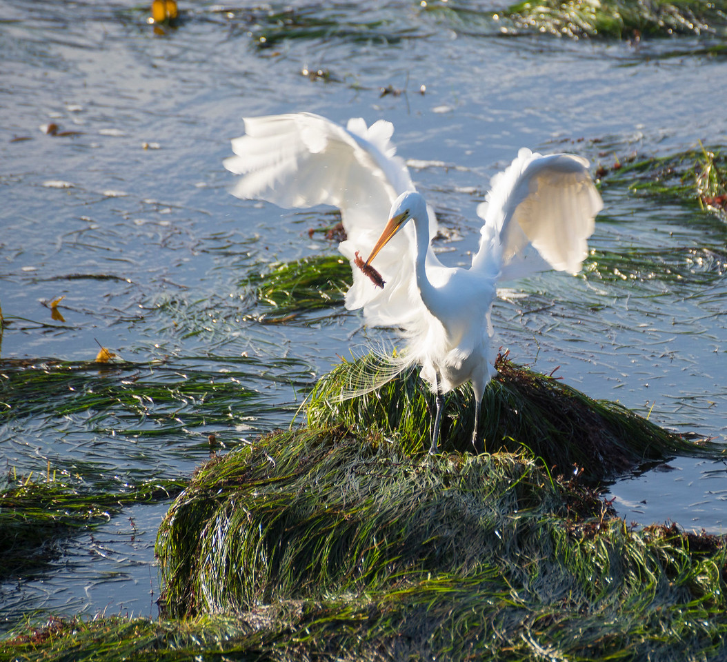 Great Egret with a catch of a High Cockscomb