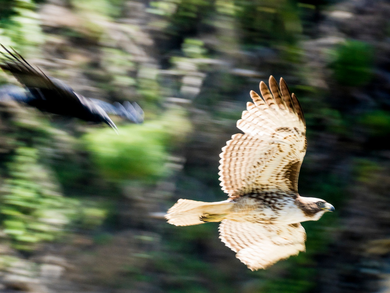 Crow chasing a Red-tailed hawk
