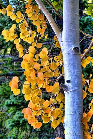 Aspen Leaves September Gold