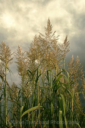 Pampas Grass Impending Storm