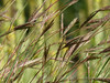 Wild Wheat Grass with Lime Green Background