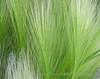 Foxy Barley