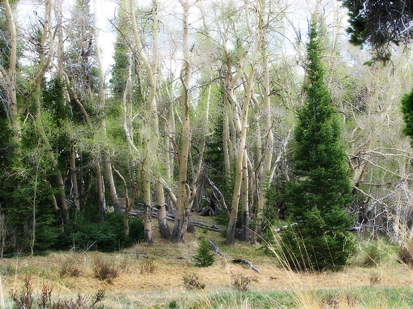 Aspen Forest Springtime