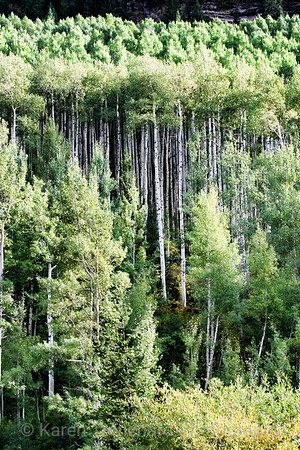 Cathedral Grove of Aspen