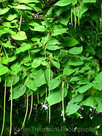 Catalpa Cigar Tree