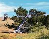 Bristlecone Pine Tree Windy Ridge, Park County, CO