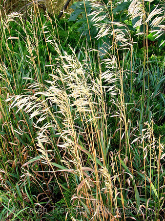Wheat Grass Tall Grass Fall