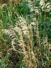 Wheat Grass Tall Grass Fall