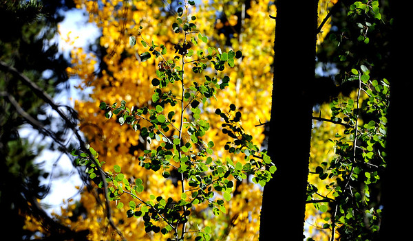 """Aspen trees just off  the Peak to Peak Highway north of Ward that have changed on September 6, 2012.<br /> For more photos and video, go to  <a href=""""http://www.dailycamera.com"""">http://www.dailycamera.com</a>.<br /> Cliff Grassmick  / September 6, 2012"""