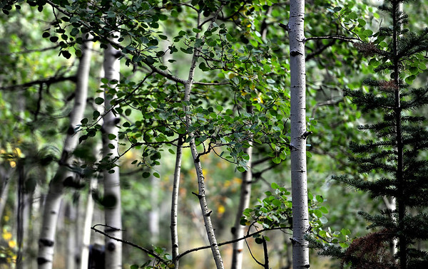 """Aspen trees along the Peak to Peak Highway that have not changed on September 6, 2012.<br /> For more photos and video, go to  <a href=""""http://www.dailycamera.com"""">http://www.dailycamera.com</a>.<br /> Cliff Grassmick  / September 6, 2012"""