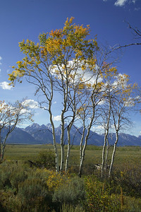 aspens and tetons