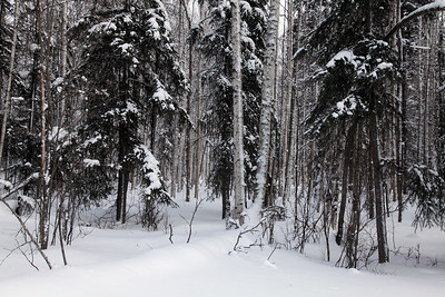 aspen, birch spruce in snow fairbanks