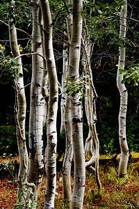 aspens, Jenny Lake trail, Teton  np