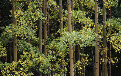 close up aspens, valle vidal new mexico
