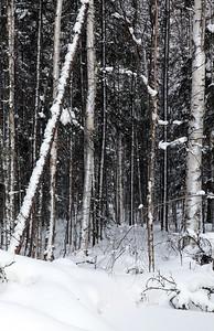 birch and aspens fairbanks