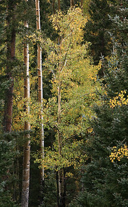 aspens in forest, valle vidal new mexico