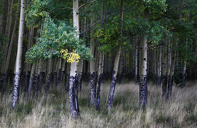 aspens, valle vidal new mexico