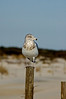 Ring Billed Gull posing on dune fence.