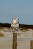 Ring Billed Gull posing on dune fence.