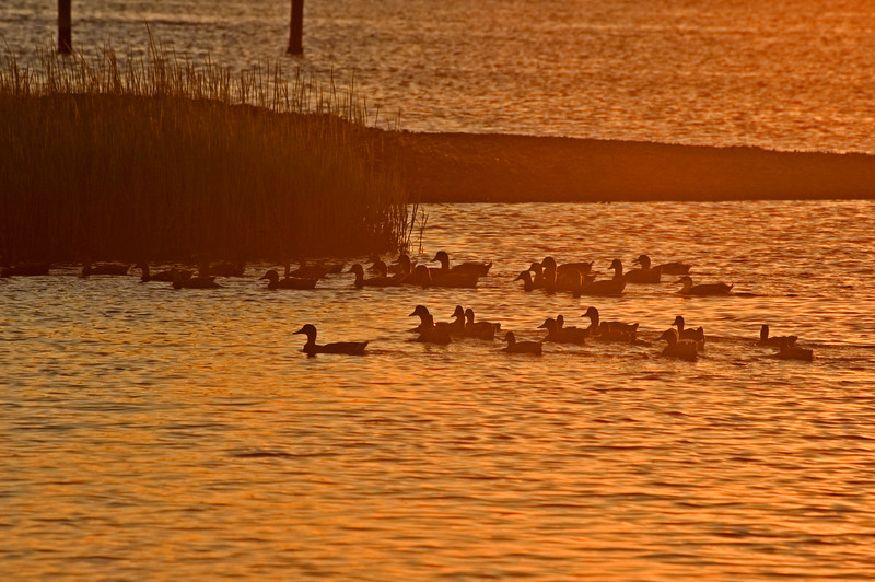 Ducks feeding at Sunset.