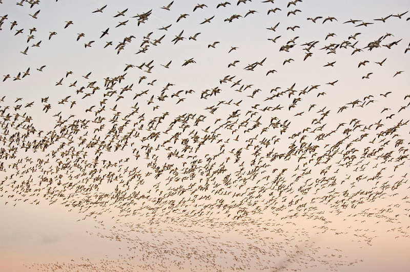 1000s of Snow Geese in flight over Assateague.