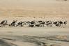 """Break Time"" - Sanderlings resting on the beach."