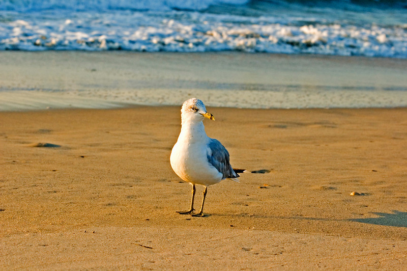 Curious Ring Billed Gull