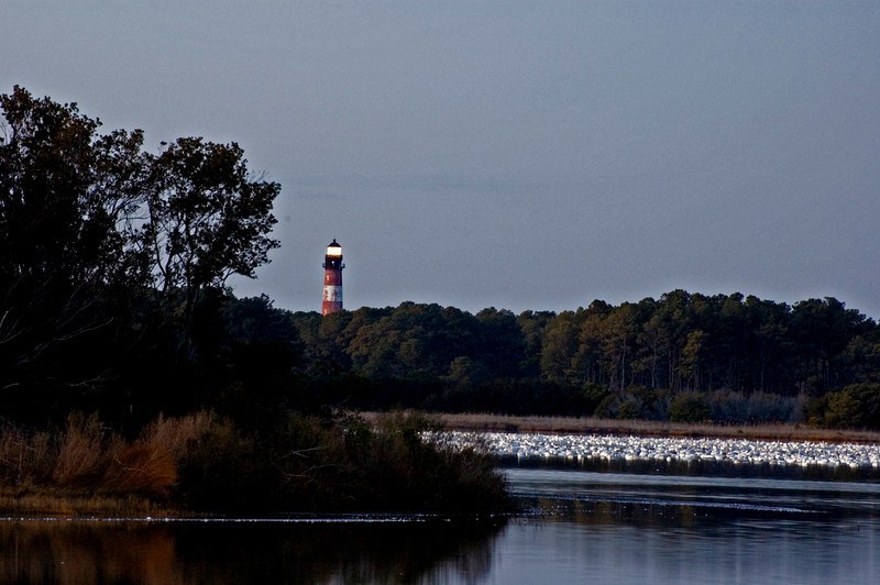 Assateague Lighthouse towering over 1000s of resting Snow Geese.