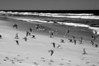"""Flock in Flight""- Sanderlings on the wing."