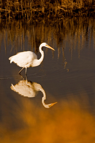 Great Egret starting the hunt.