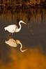 Great Egret starting the hunt.
