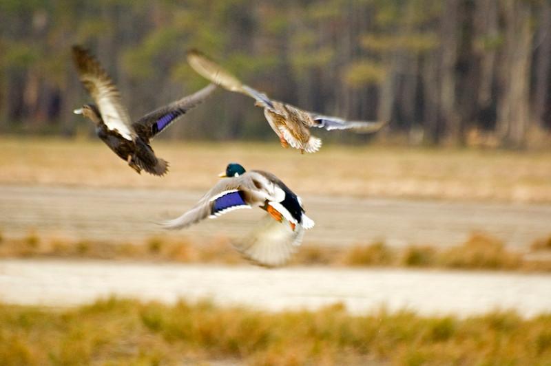 Mallards & a Black Duck blasting off.