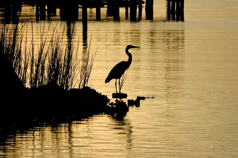 """ Early Bird"" -Great Blue Heron backlit at Sunrise."