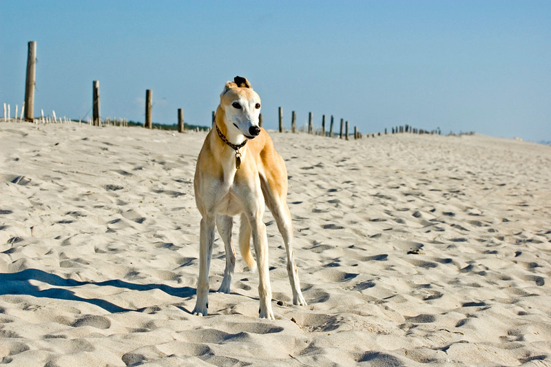 My Greyhound Annabelle enjoying the beach ambience on the Maryland side..