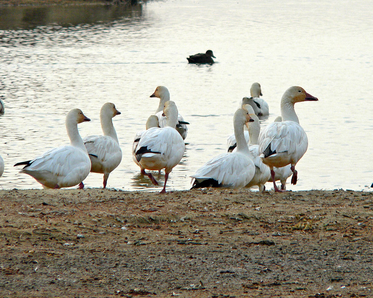 Snow Geese under a cold, gray sky.