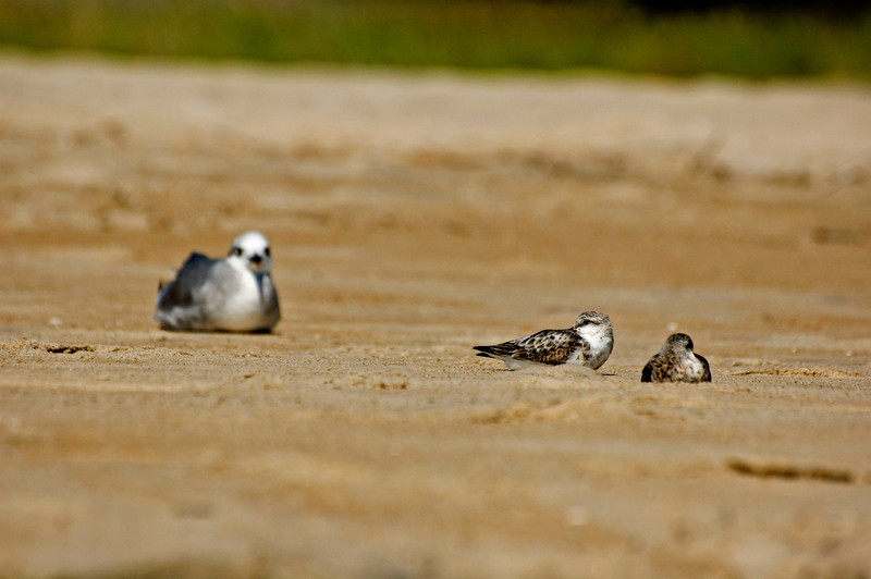 """Do Not Disturb""- Sanderlings napping with resting Laughing Gull in back."