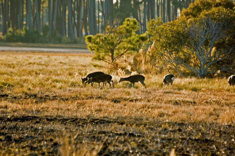 Grazing Sika Deer backlit by the evening Sun.