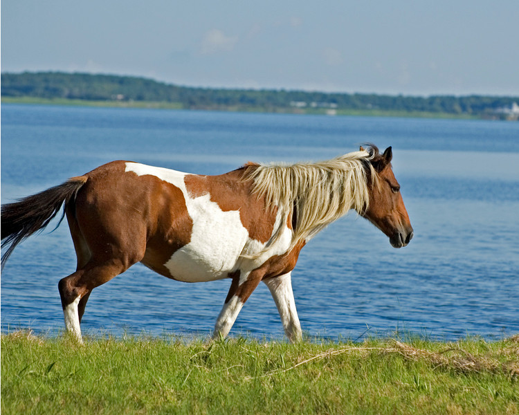 Painted Mare strolling along the Bay's edge..