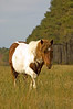 Colorful Chincoteague Pony approaching the camera.