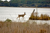 White Tailed Buck strolling the marsh.