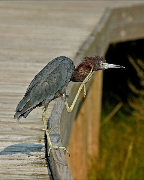 """The Itch""- Little Blue Heron deftly scratching an itch."