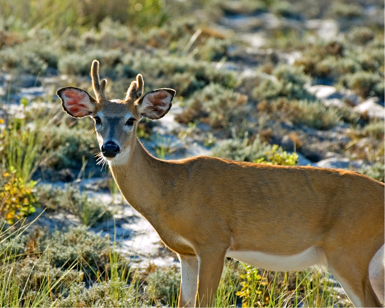 Yearling White-Tailed Buck grazing along the scrubby dunes.