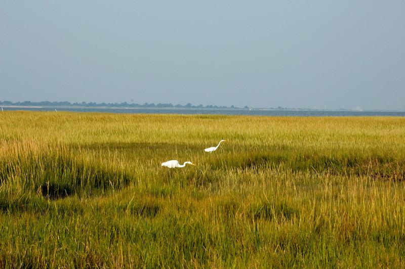 Great Egrets in the salt marsh .