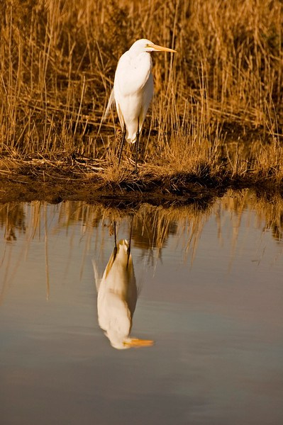 Great Egret warming under the morning Sun.