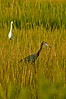 """Two Colors2""- Vertical shot of the Little Blue Herons, one in white color phase."