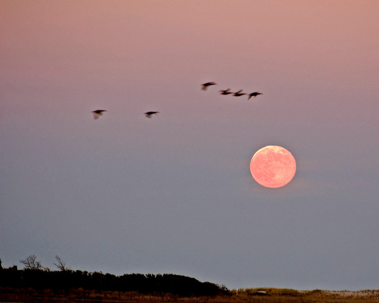 Geese crossing the full Moon over Assateague.