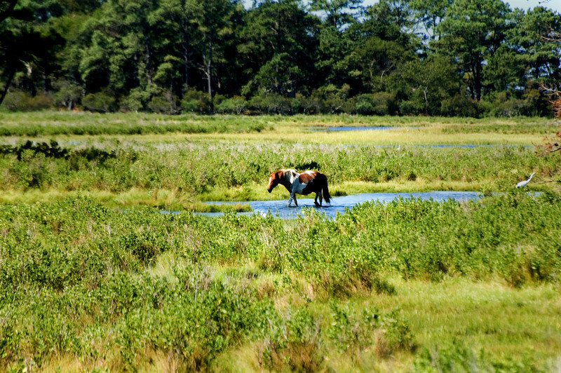 Lone Stallion in the marsh.