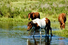 Striking Paint colored Stallion foraging on Assateague.  One of 150 wild Ponies on the National Refuge..