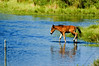 """Keeping Up""- Foal crossing pool to keep with the herd."
