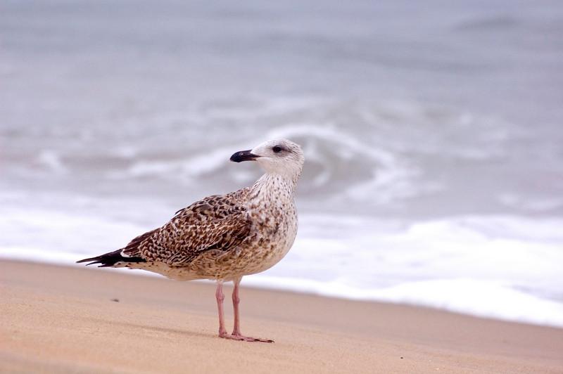 Immature Black Backed Gull.
